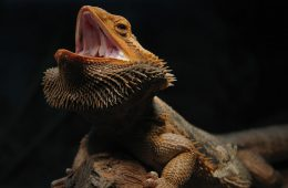Bearded Dragon Enclosure for Sale