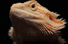 Bearded Dragon Heat Lamps